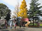 12月15日いちょうの木がきれいです。
